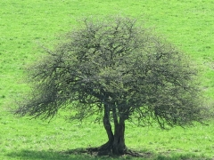 arbre 09 mai 2012.jpg